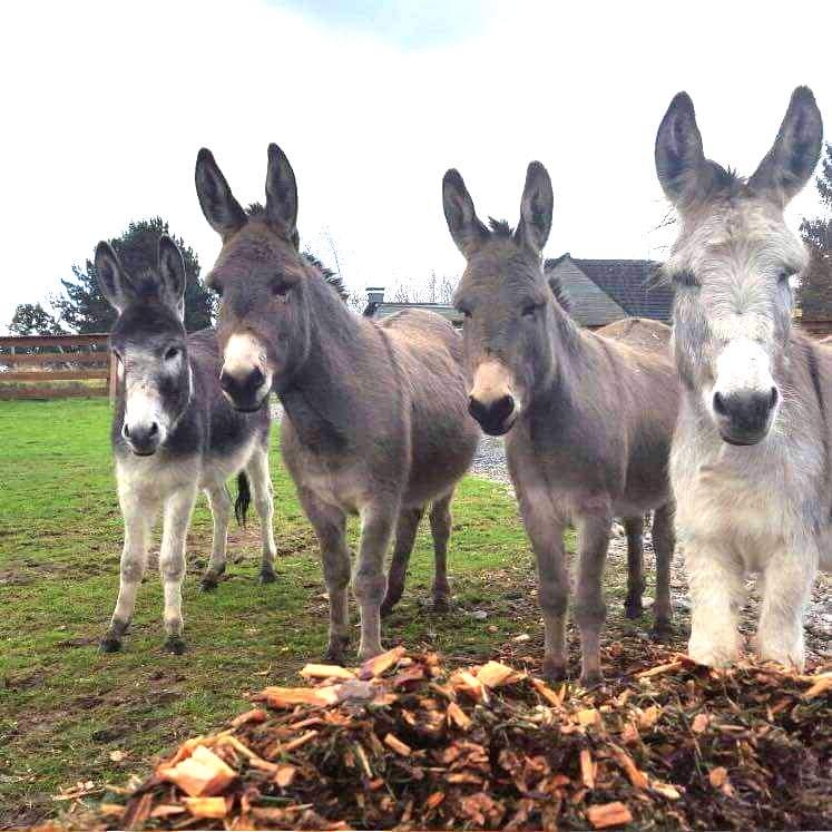 5 Esel von der Aussenstelle Stiepel